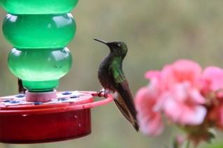 Kolibri auf der Finca La Carbonera