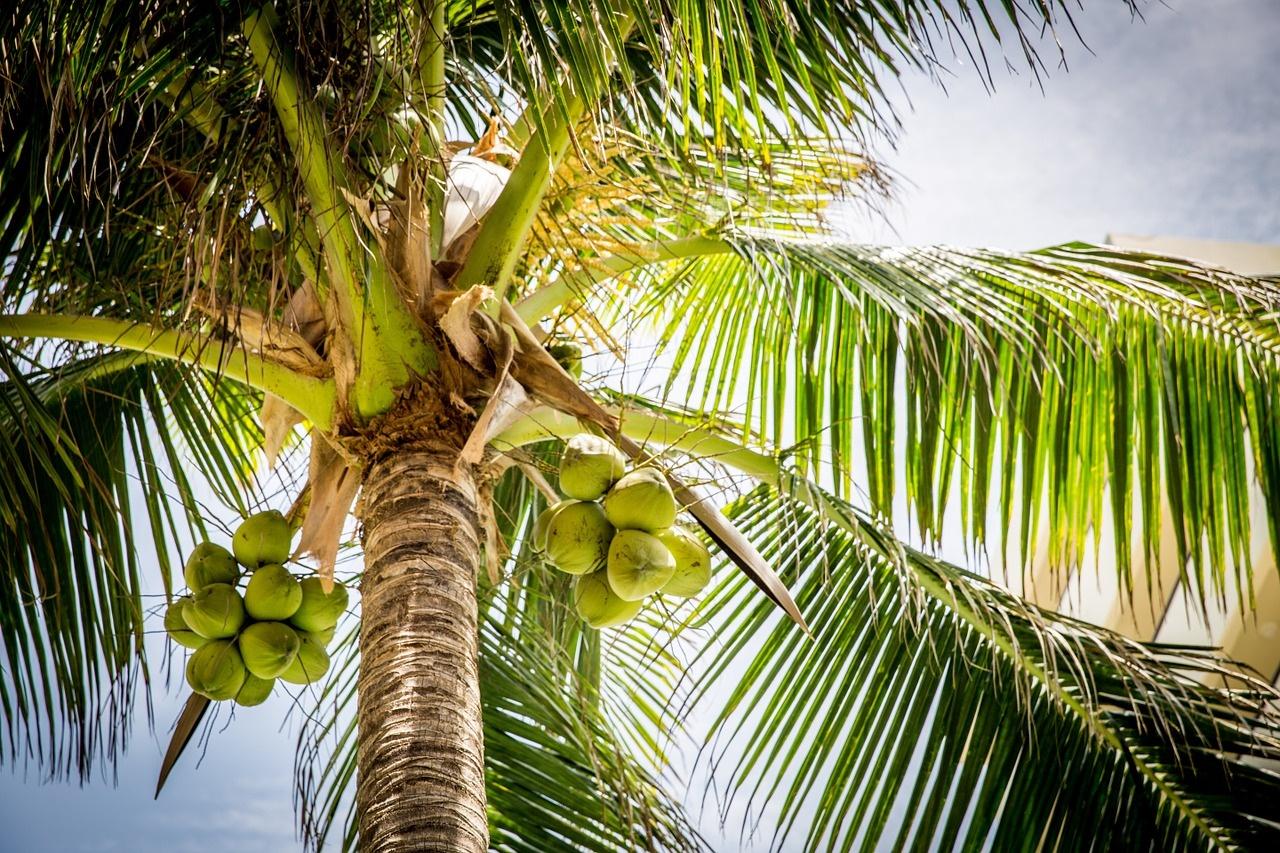 coconut drupe