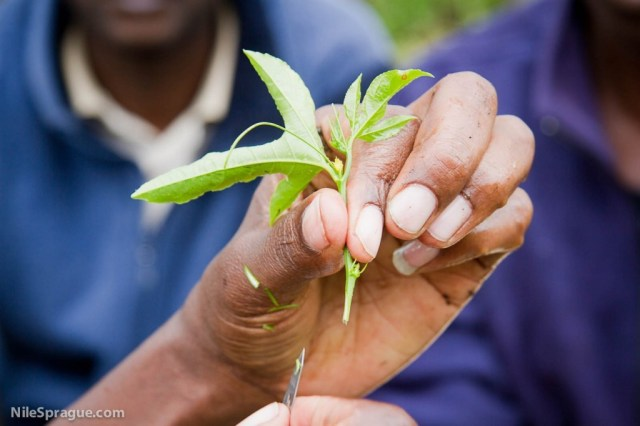 Man holding passion fruit seedling at grafting training, Tiret Self-Help Group passion fruit farmers, Project Nurture, Tiret, Kenya.