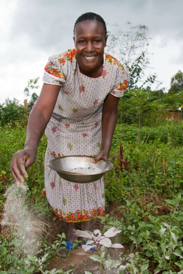 Woman applying ash to as natural pesticide, Kilili Self Help Project, Kitale, Rift Valley province, Kenya.