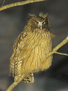 220px-Blakiston`s_fish_owl1