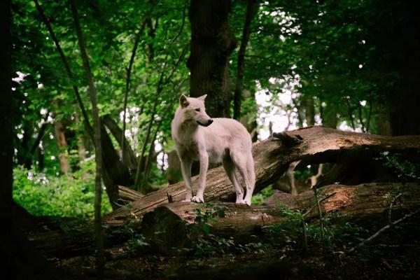 Loup blanc du parc Canadien