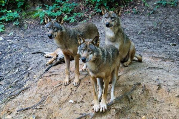 Groupe de loups gris