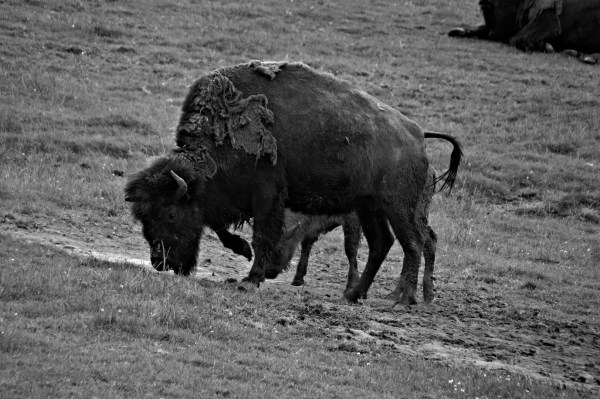 Bison noir et blanc