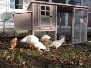chicken house 2013