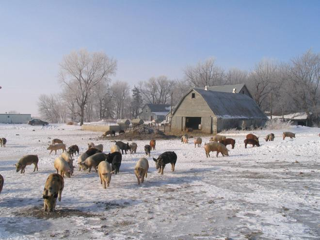 pigs at old farmstead