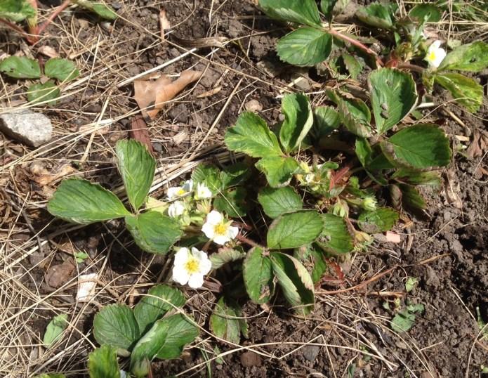 strawberries042916