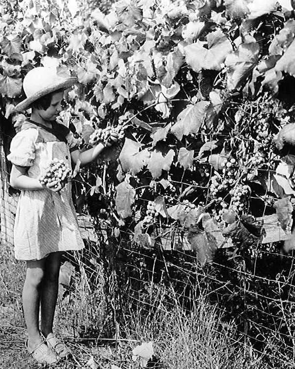 Little girl picking grapes on a Weakley County, Tenn. farm, circa 1940.