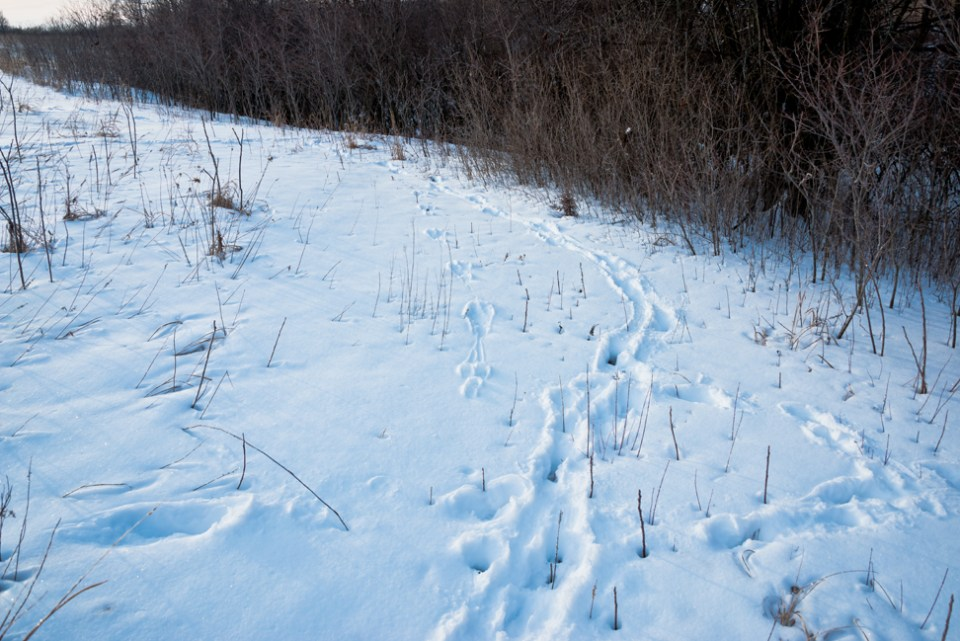 Critter Tracks at the Edge of the Middle Draw - Big Snow