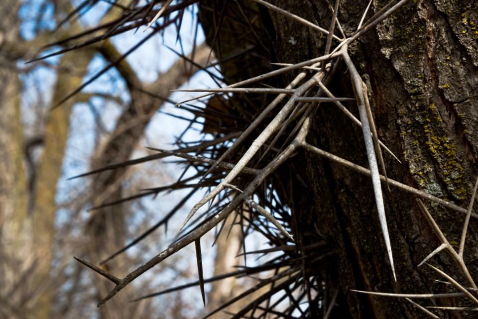 Locust Thorns CU