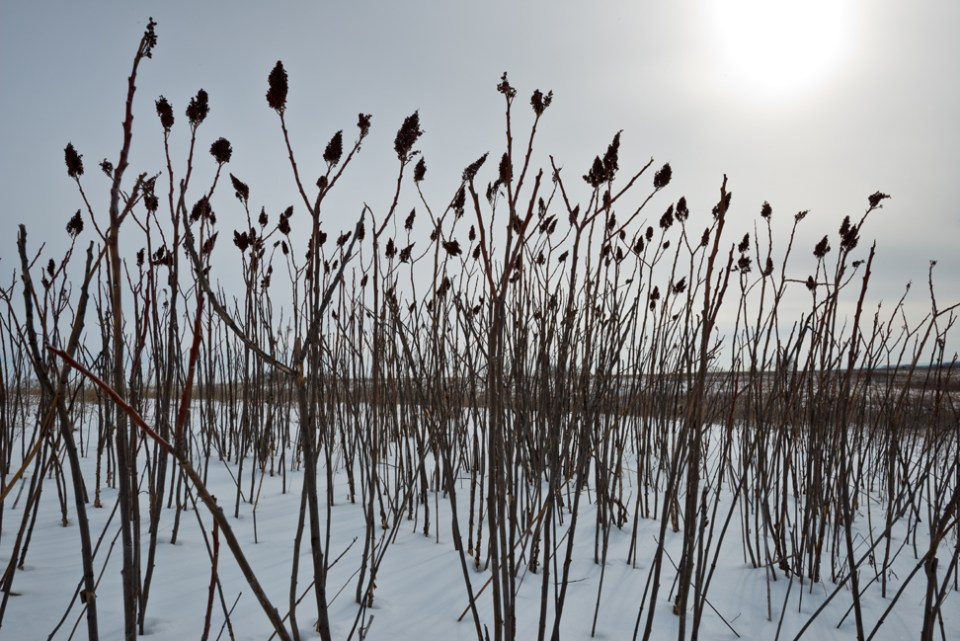 Sumac Heads against a Winter Sun