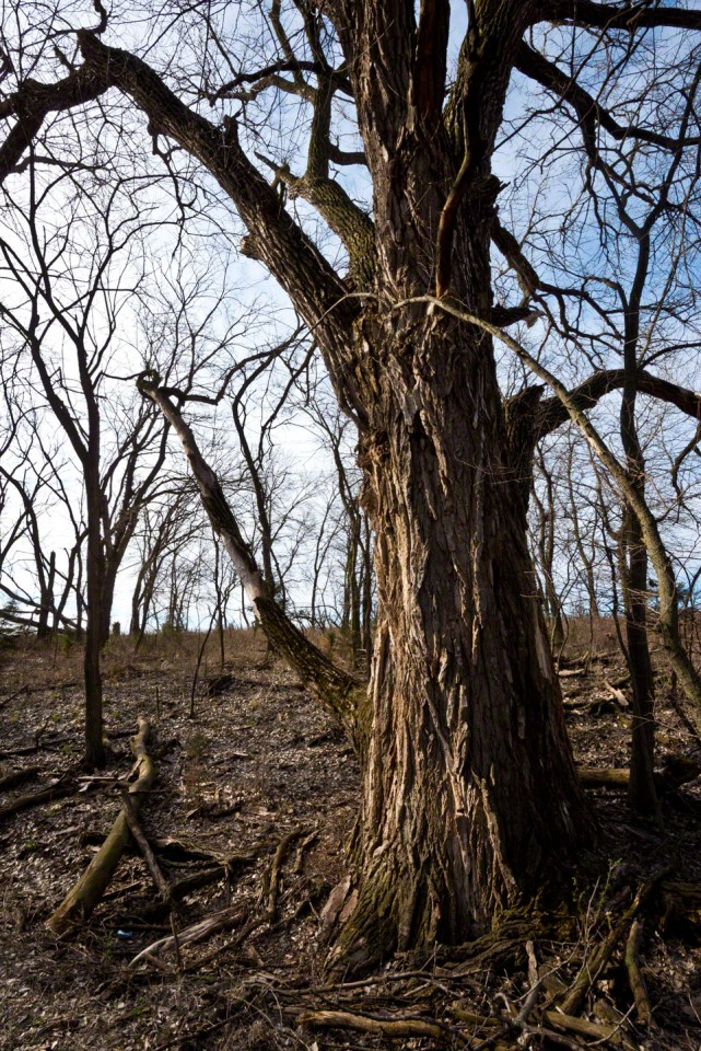 Grandmother Cottonwood Waits for Spring