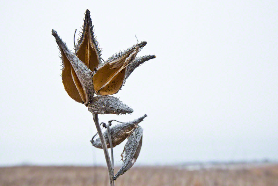 Milkweed Pods - First Day of Spring