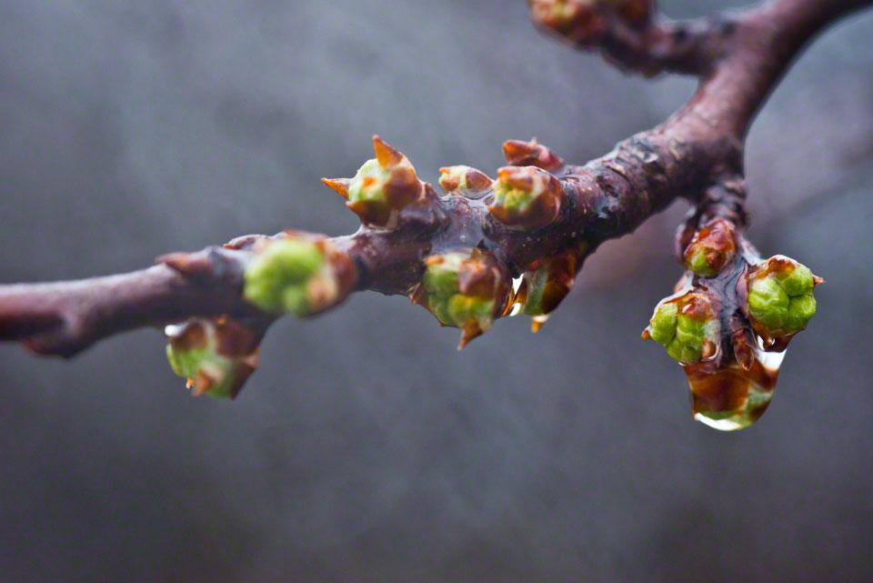Plum Bush Buds in the Rain - Erotic...