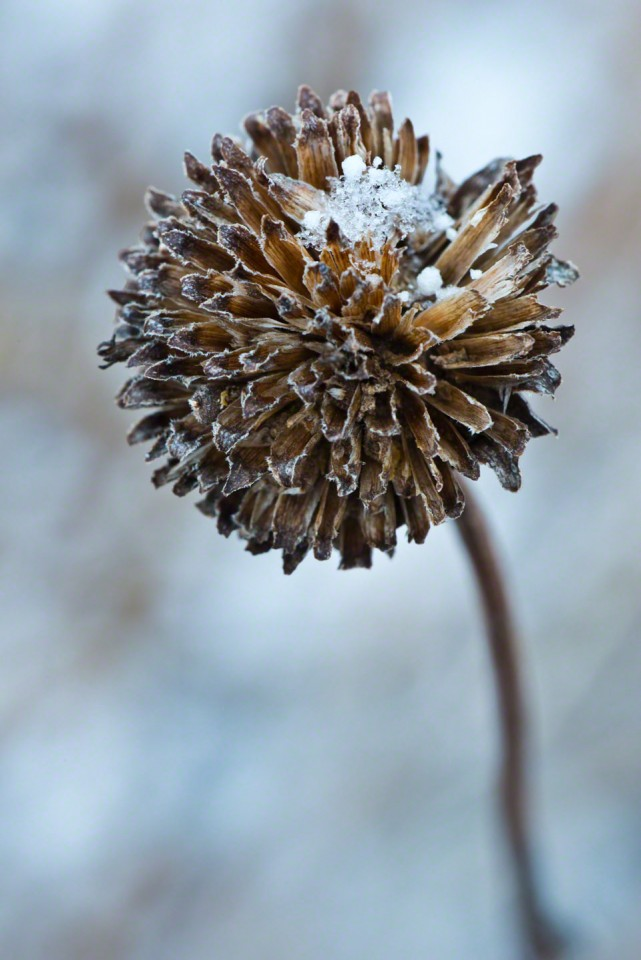 Snow Filled Seed Head #2 - First Day of Spring