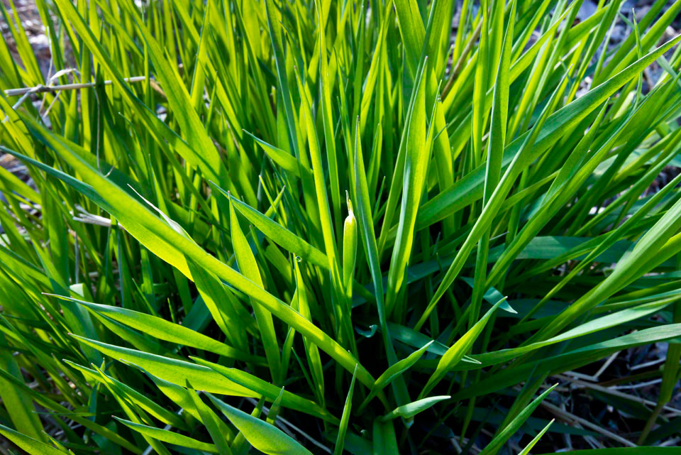 Tuft of First Growth Grass