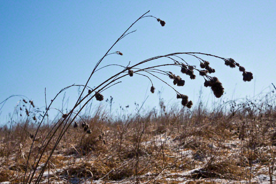 Winter Bowed Seed Heads