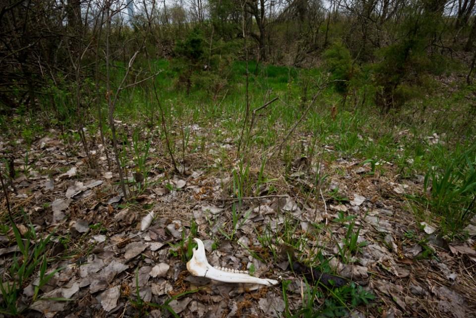 Deer Jawbone - In Situ