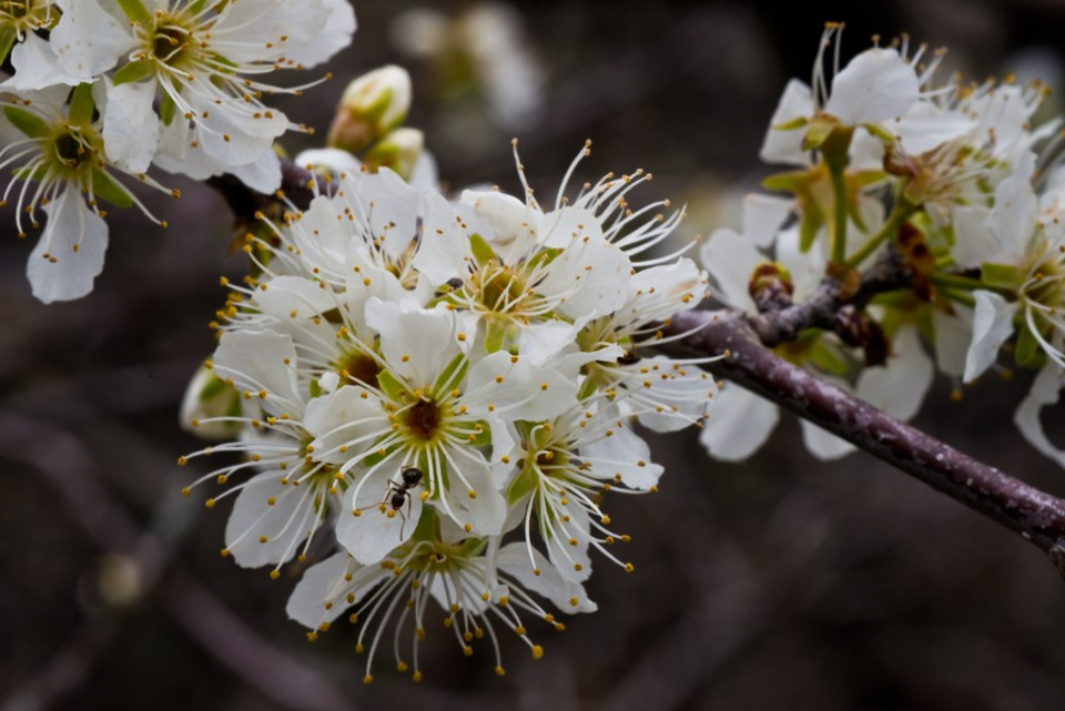 Plum Bush Blossoms with Ant 2