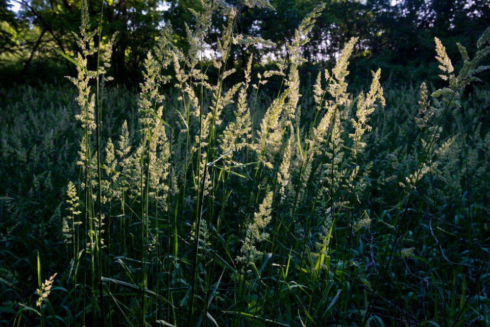 A-Stand-of-Flowering-Grass-Heads-Backlit