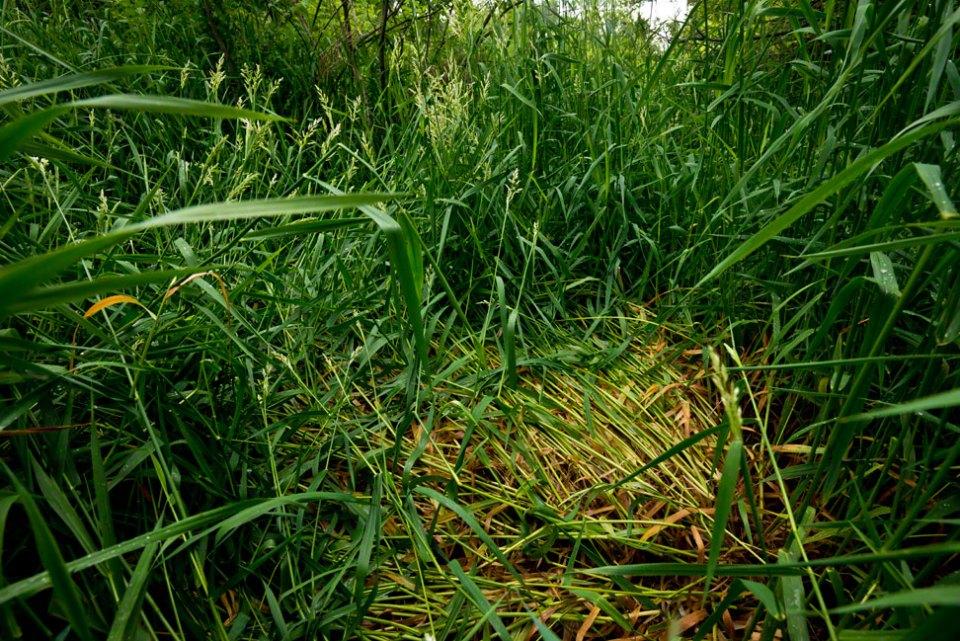 Deer-Bed-in-Deep-Wet-Grass