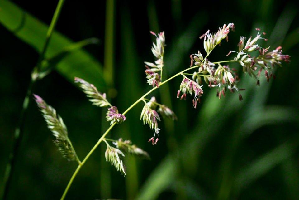 Flowering-Grass-Head