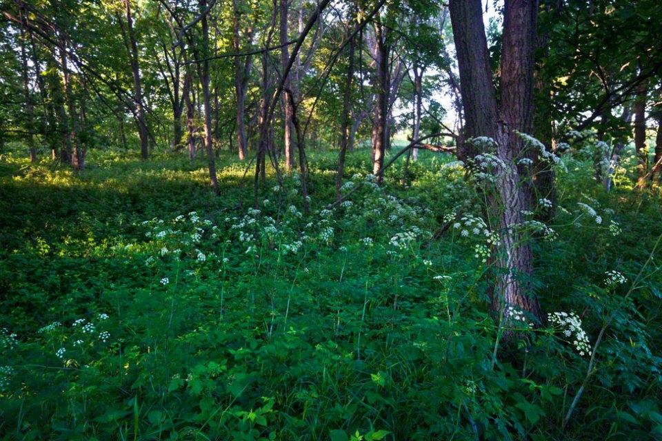 Grove-with-Hemlock-Foreground