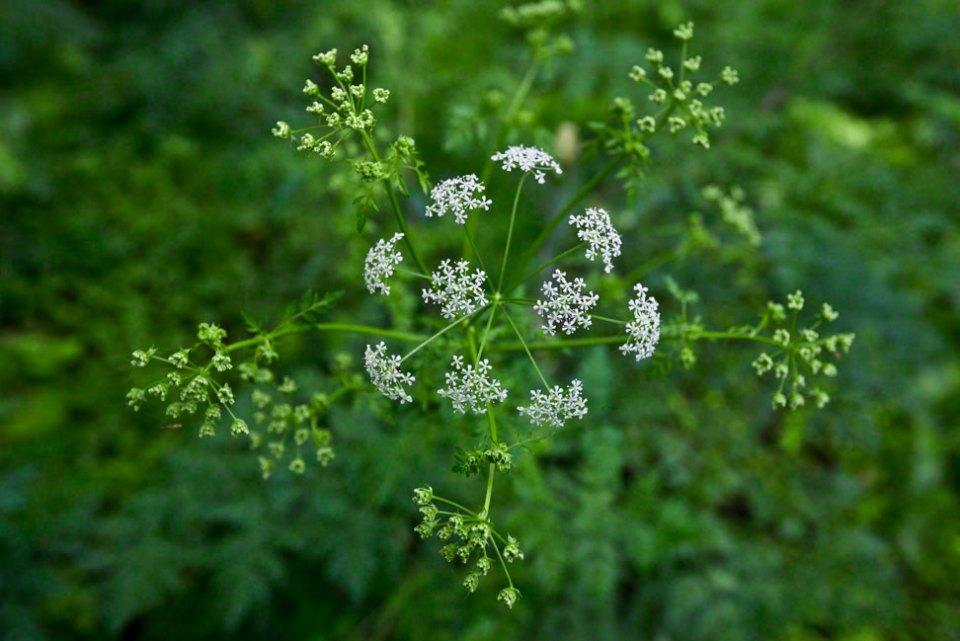 Hemlock-Flowers