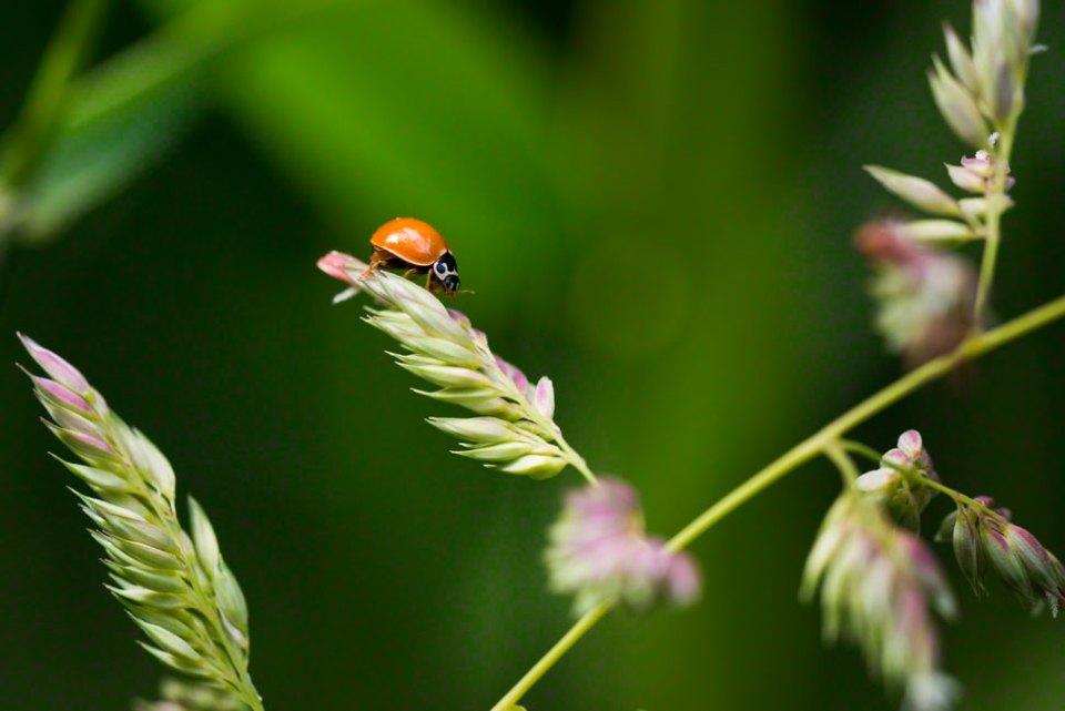 Orange-Beetle-on-Flowering-Grass-Head