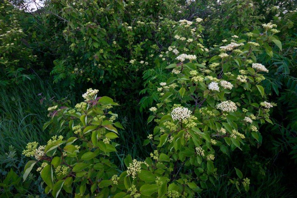 Prairie-Dogbane-Flowering