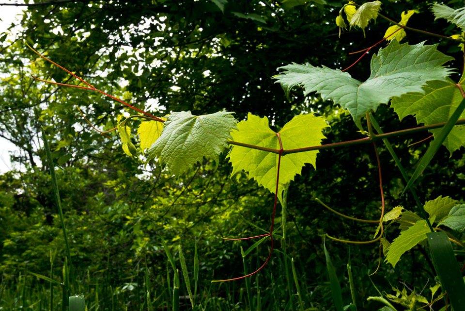 Wild-Grape-Tendril