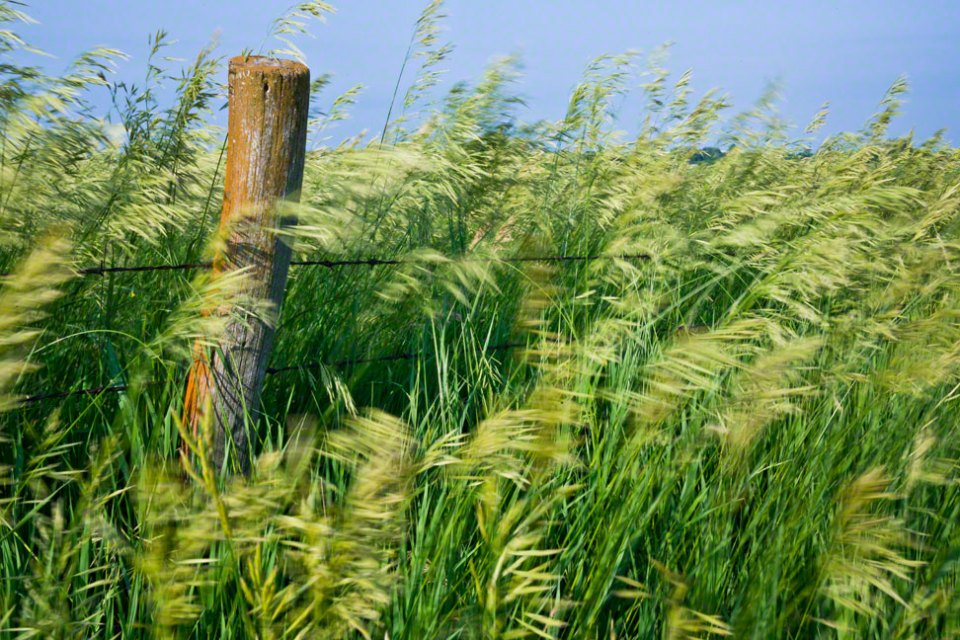 Wind-Whipped-Grass-at-the-Fenceline