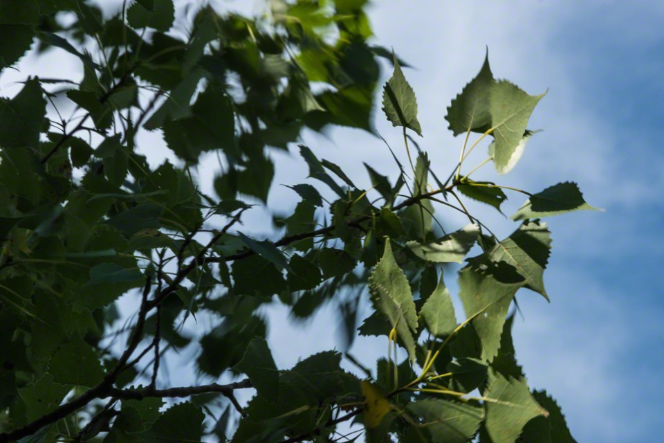 Blowing Cottonwood Leaves