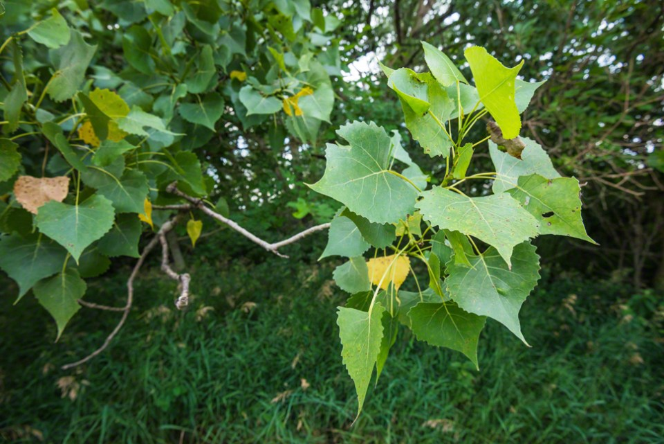 Cottonwood Leaf Cluster - The Hinge of the Season