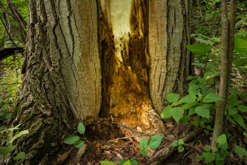 Insect Infested Cottonwood Trunk
