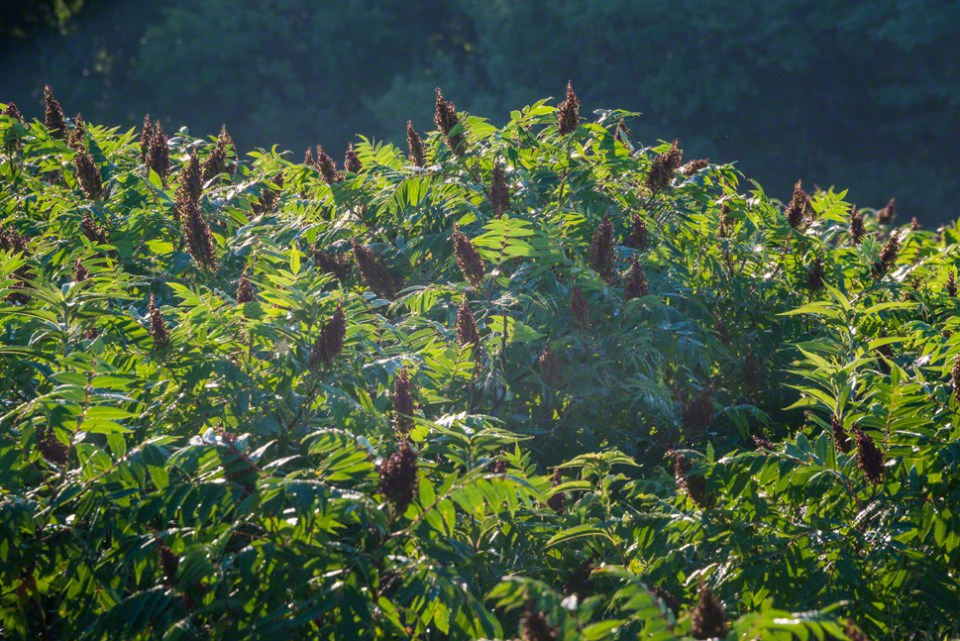 Into a Stand of Backlit Sumac