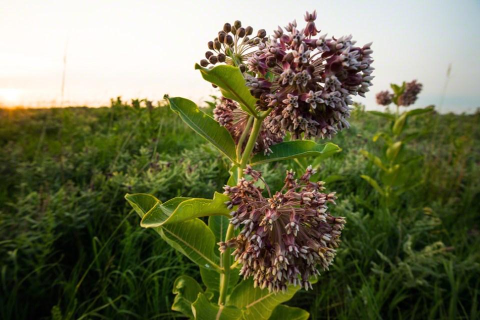 Milkweed Flowers CU