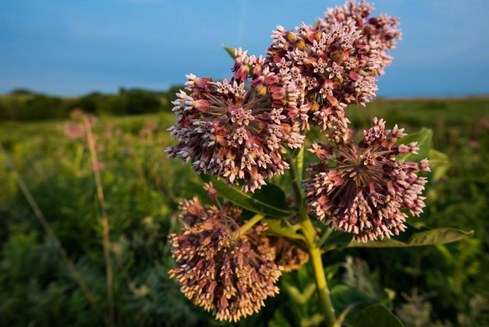 Milkweed in Flower CU