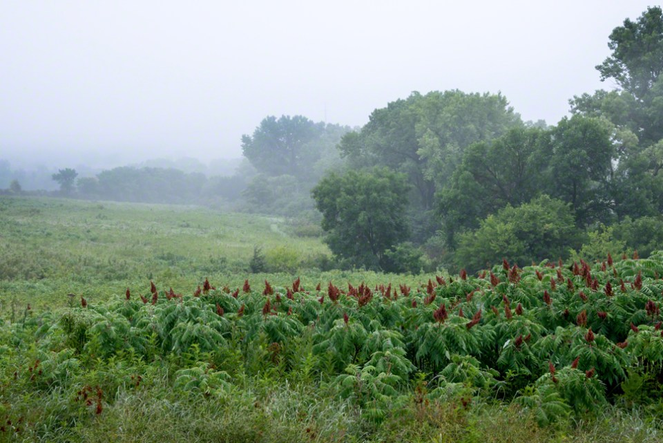 Misty Morning Across a Sumac Stand