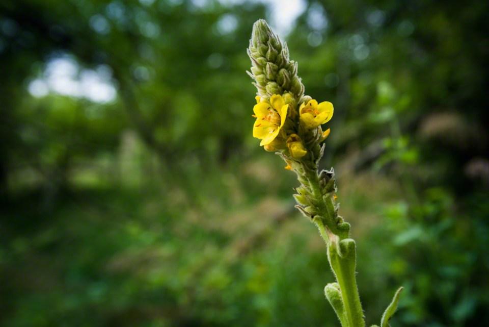 Mullein Flower CU