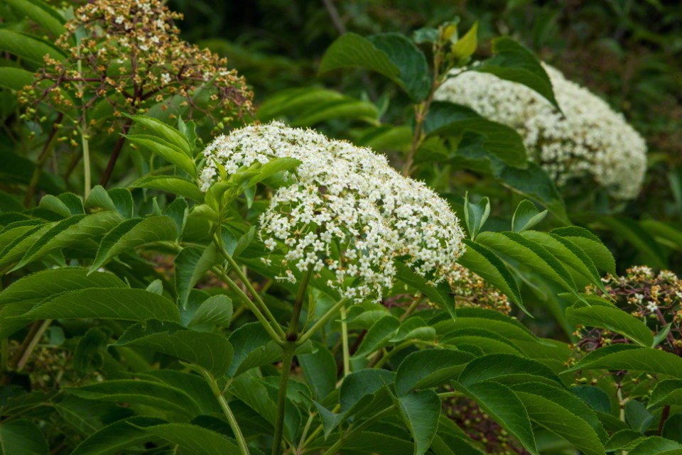 Roughleaf Dogwood Flowering
