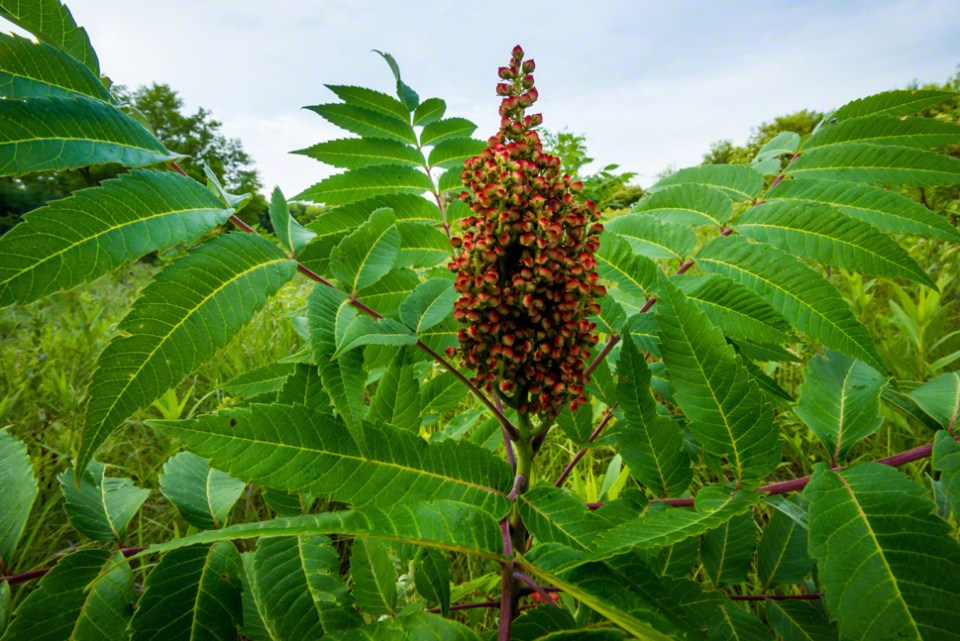 Sumac Head - Flowering  CU