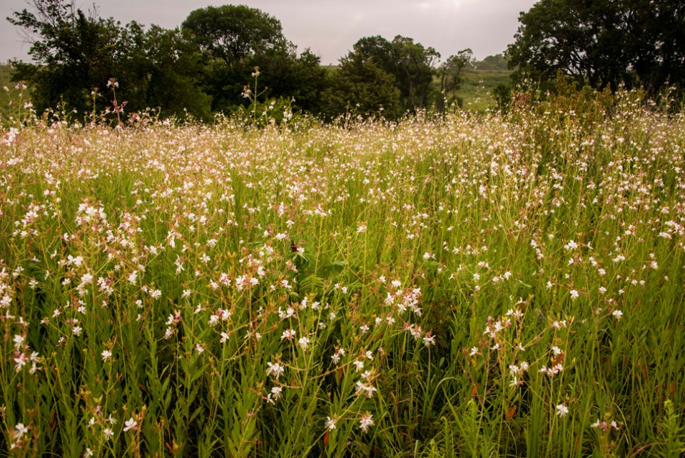 A Freshly Blooming Field of Large Flowered Gaura