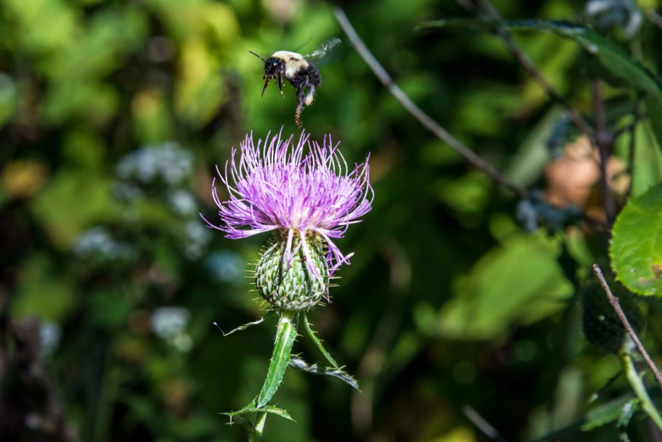 Bumblebee Leaving a Thistle Flower