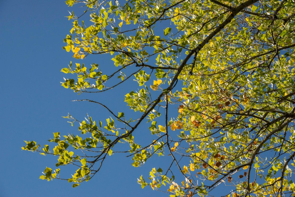 Cottonwood Leaves - A Tinge of Summer's End