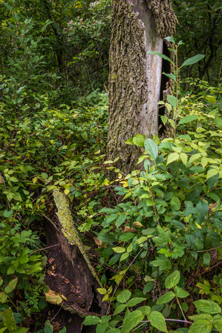 Dead Tree - Bark Peeled Off