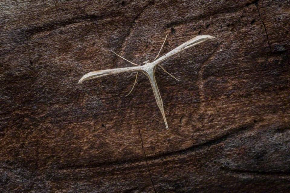 Delicate Cruciform Moth