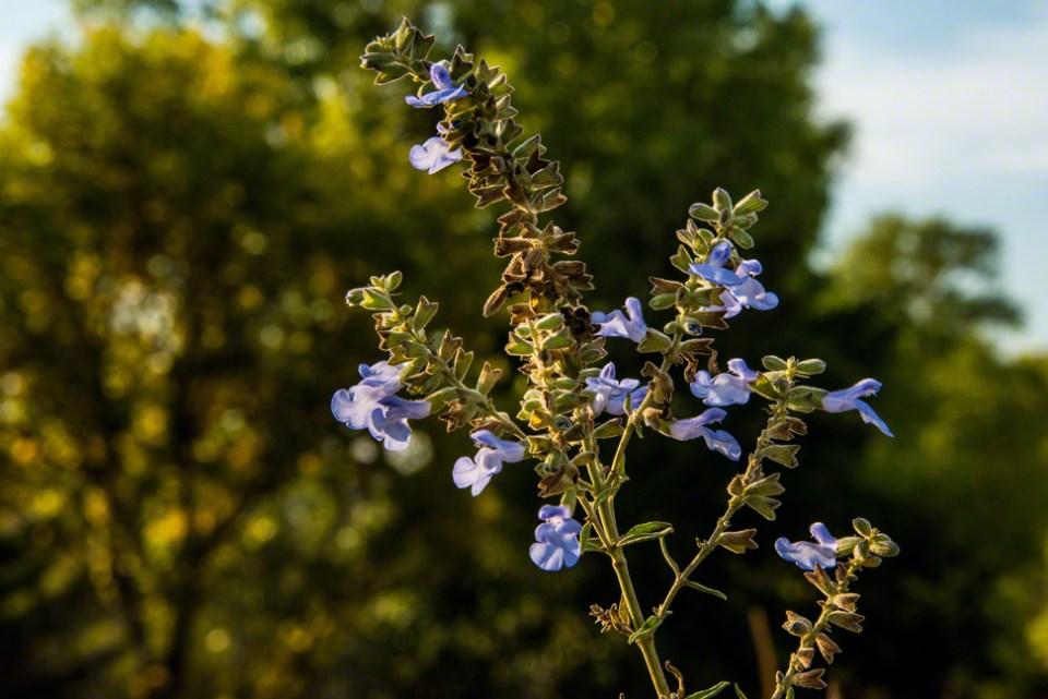 Flowering Pitcher's Sage