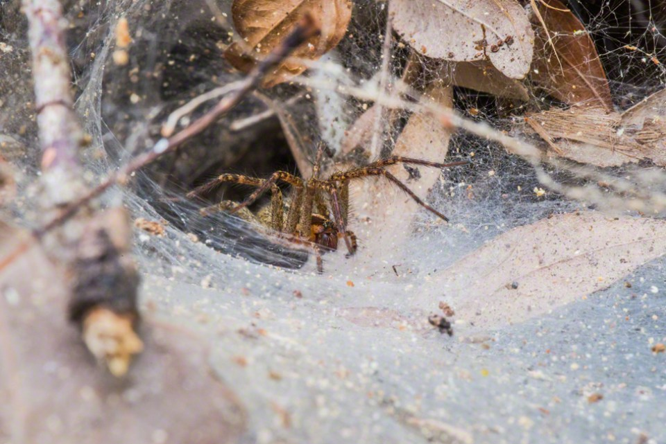Grass Spider and Web - Close Up