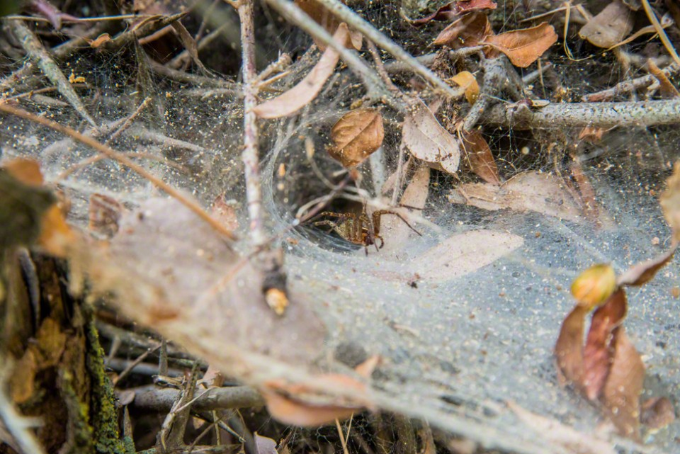 Grass Spider and Web in a Thorny Locust